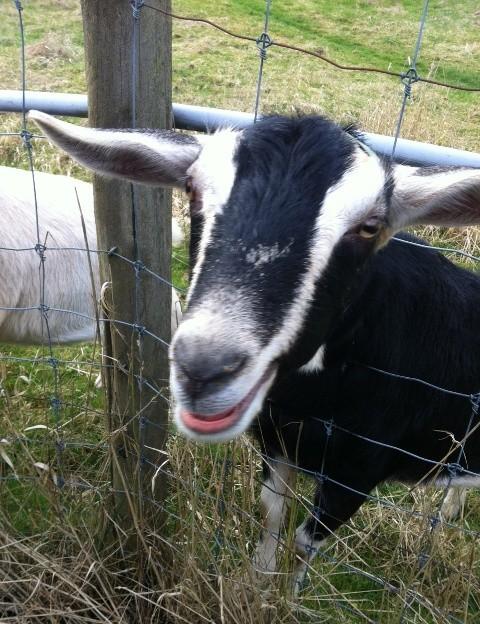farm_goat