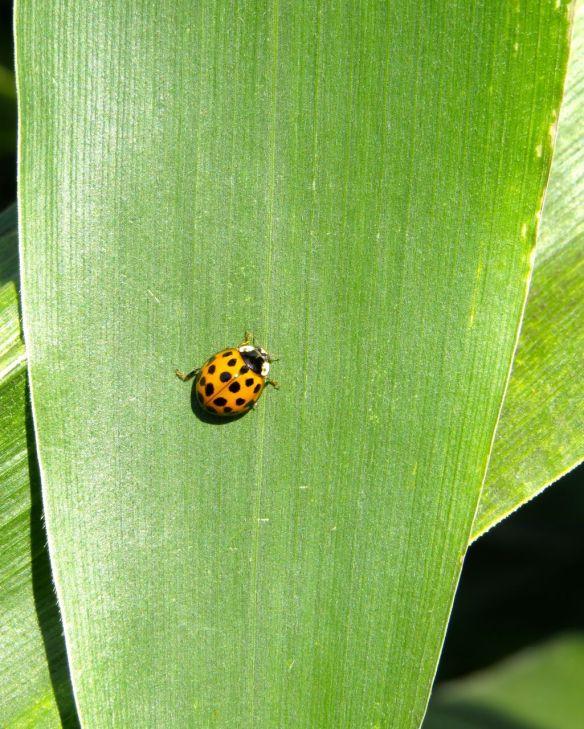 corn_ladybug
