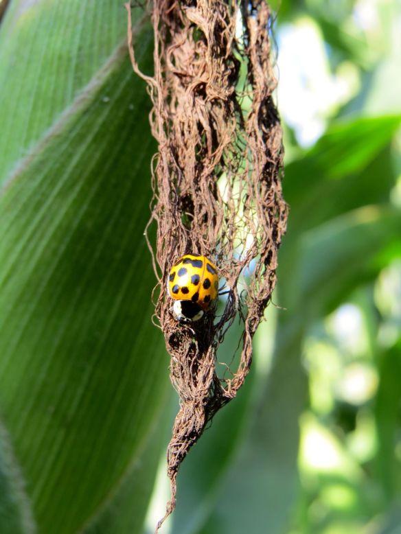 corn_ladybug2