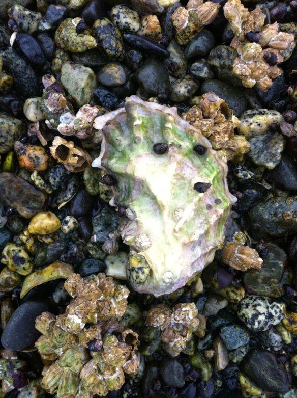 beach_oyster1