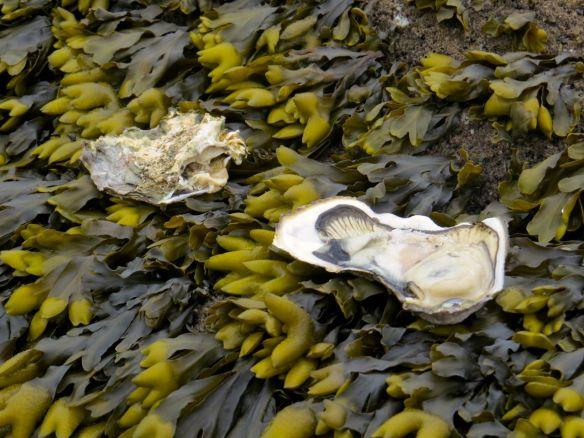 beach_oyster_eaten