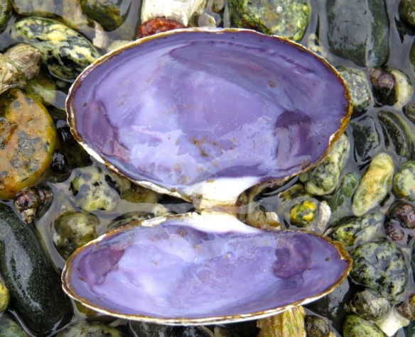 beach_purpleshell